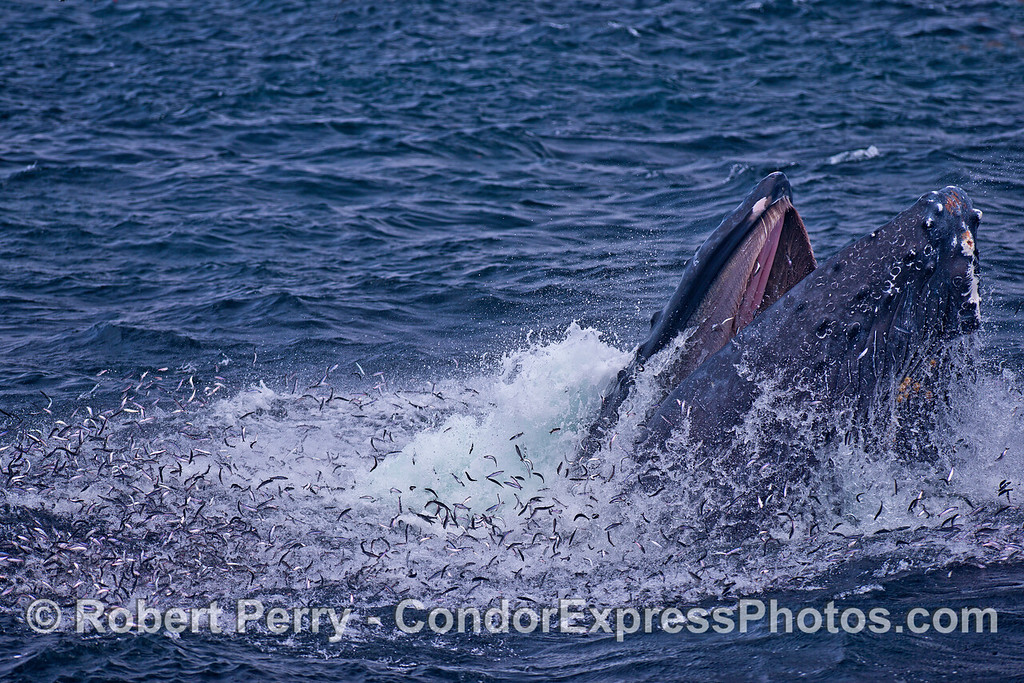 Northern anchovies vs. humpback whale.  Note baleen in upper jaw of the whale's open mouth.