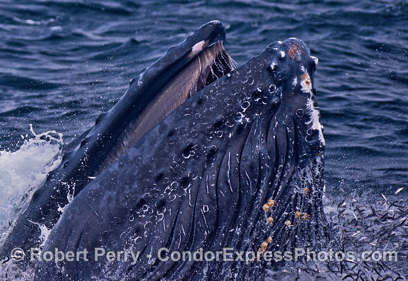 Baleen, ventral grooves, northern anchovies - a humpback's vertical lunge.