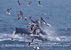 Second image - obscured humpbacks feeding on anchovies.