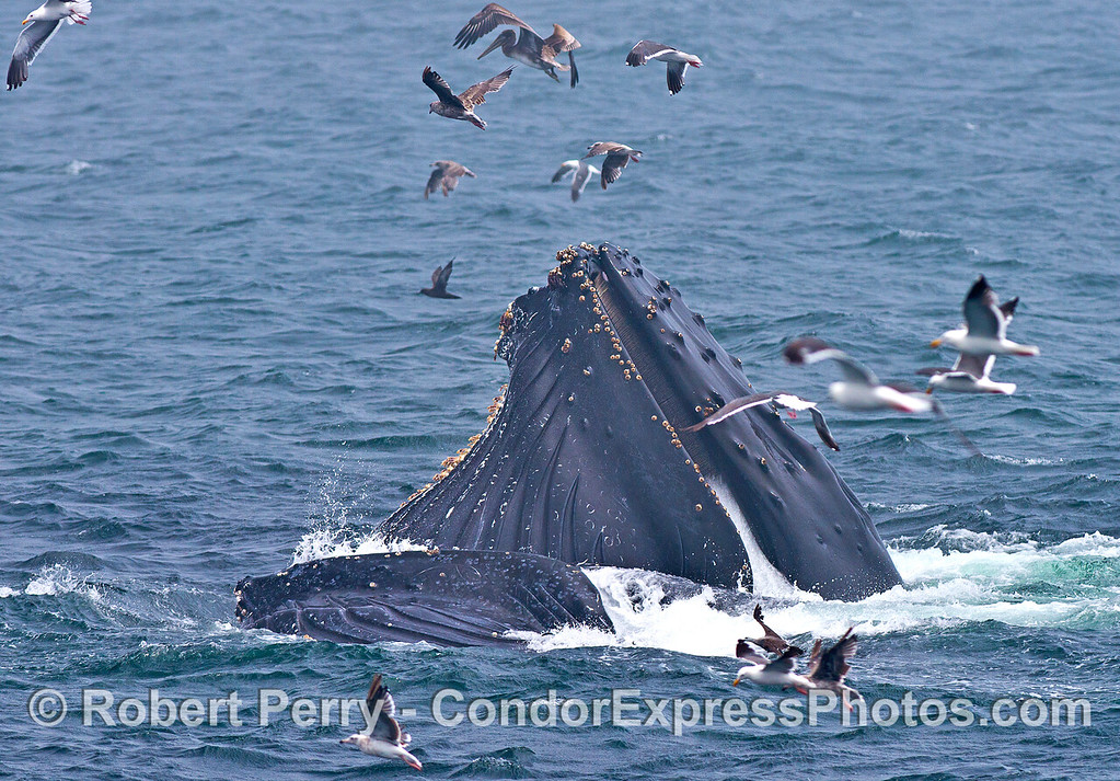 Two cooperatively feeding humpback whales.