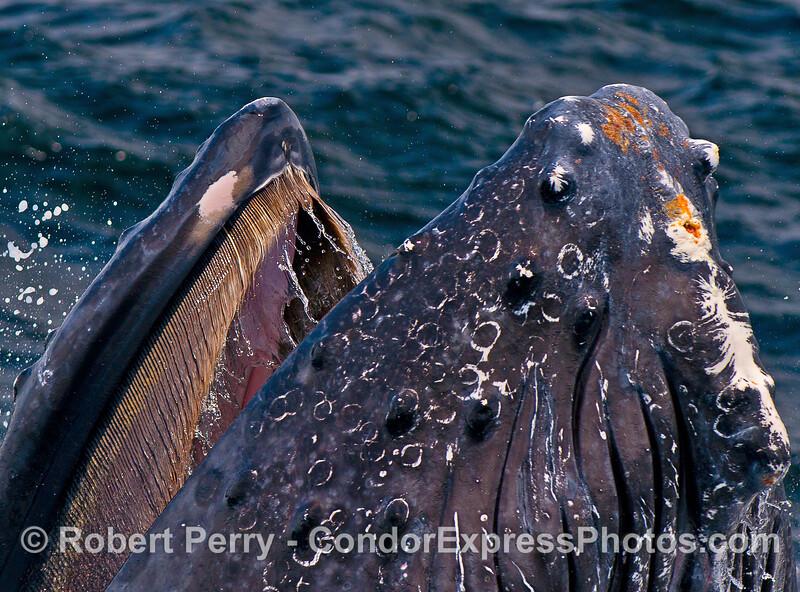 Extreme baleen.