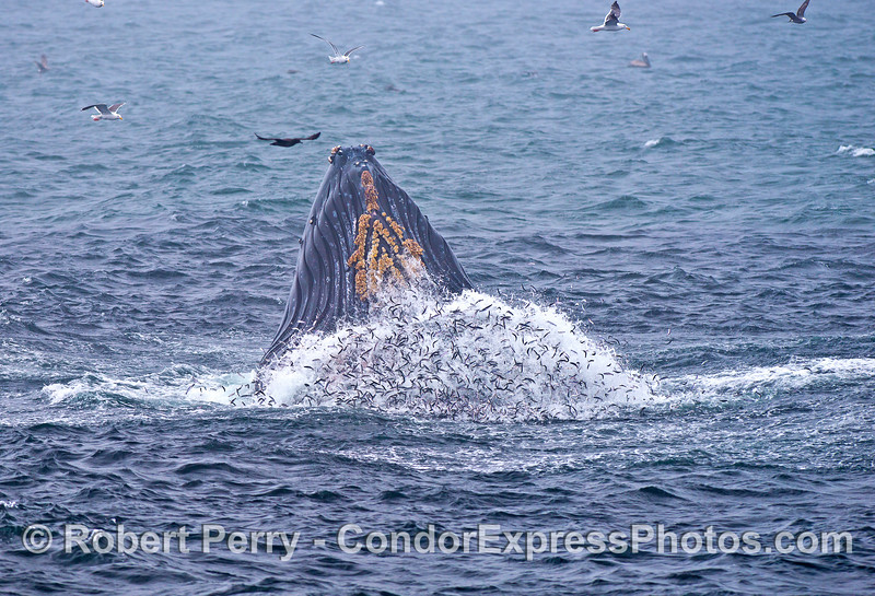 A vertical humpback with a bulge of anchovies all around its expanded belly grooves. The dark water around the whale is the massive bait ball.