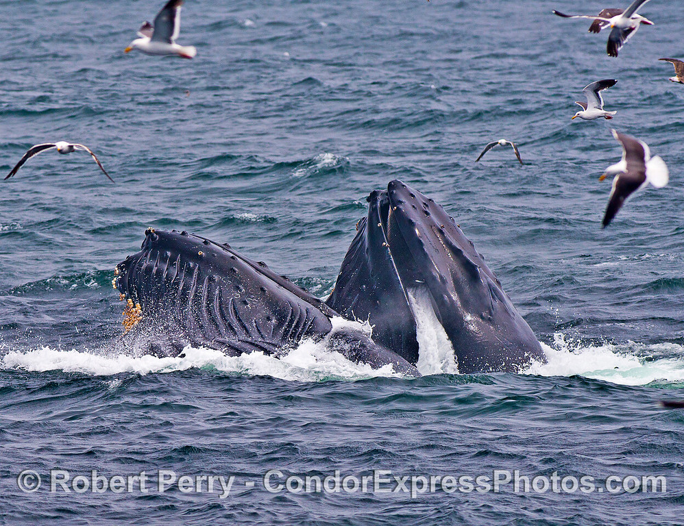Dual humpbacks lunge feed together.