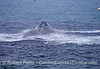 A mountain of northern anchovies erupts from the ocean surface as a vertical lunge-feeding humpback shows its rostrum.