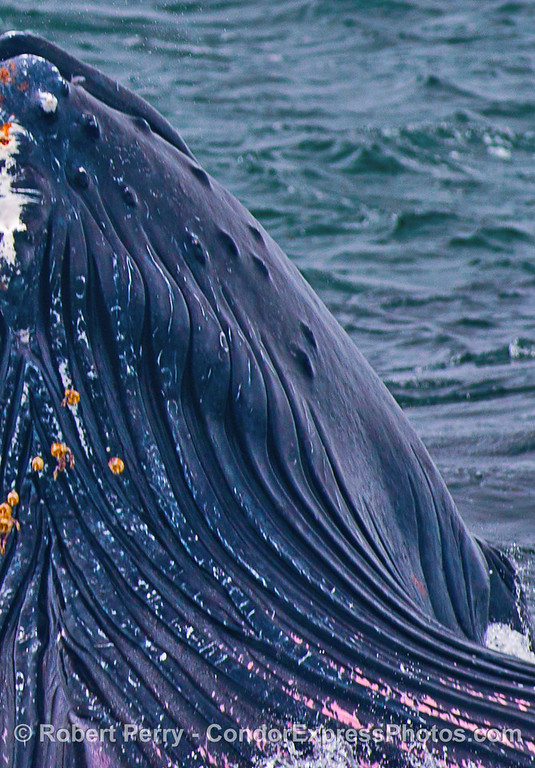Grooves in ventral blubber - humpback whale.