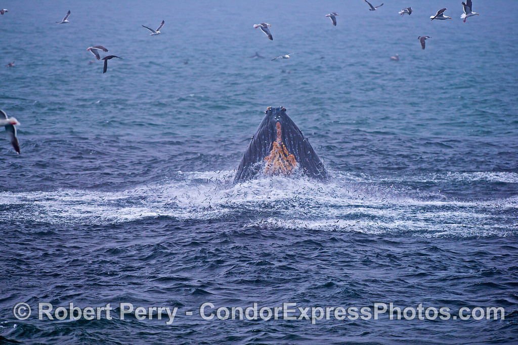 Chin shot - humpback lunge with anchovies galore.