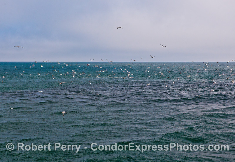 Massive dark water shows location of huge anchovy bait ball.
