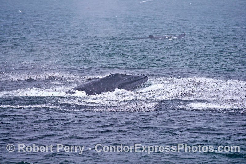 A humpback whale on a river of little silver fishes.