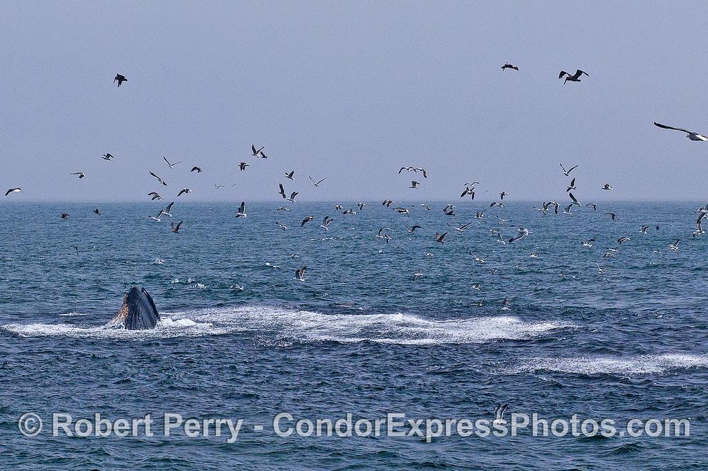 Humpback, anchovies, gulls.