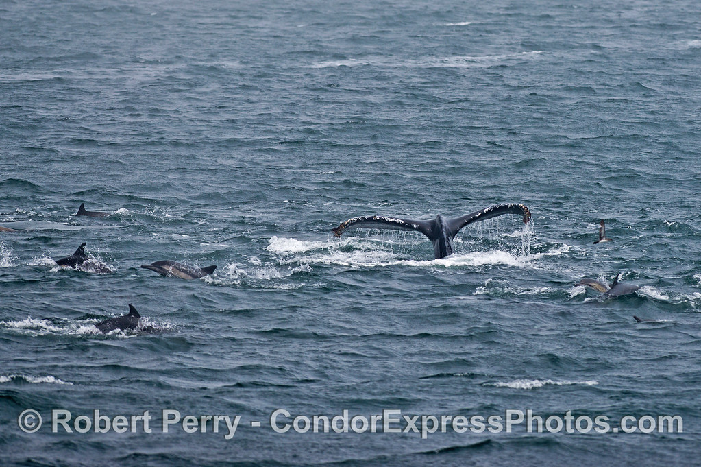 Long-beaked common dolphins and a humpback whale.