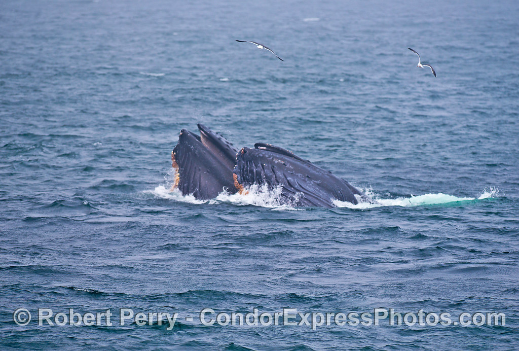 Side by side cooperative surface lunge feeding