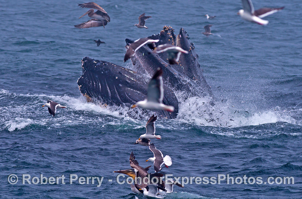 Two humpback whales feeding and obscured by gulls.