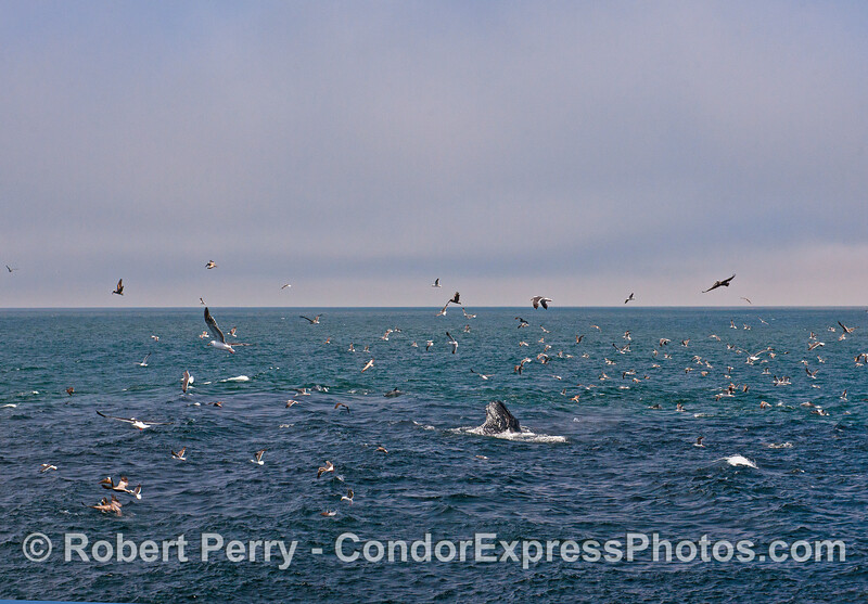 Wide-angle view of the hot spot.  Note the darker water surrounding the whale which is caused by anchovy masses.