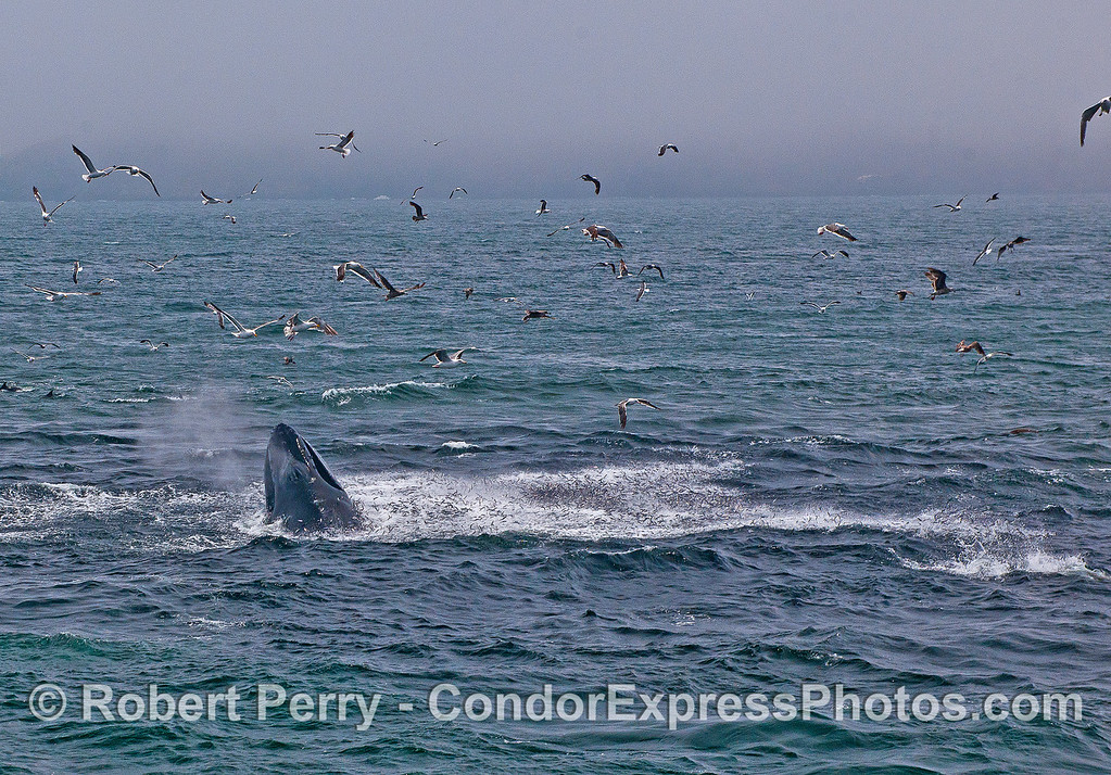 Sea birds, a lunging humpback and an ocean hot spot teeming with jumping anchovies