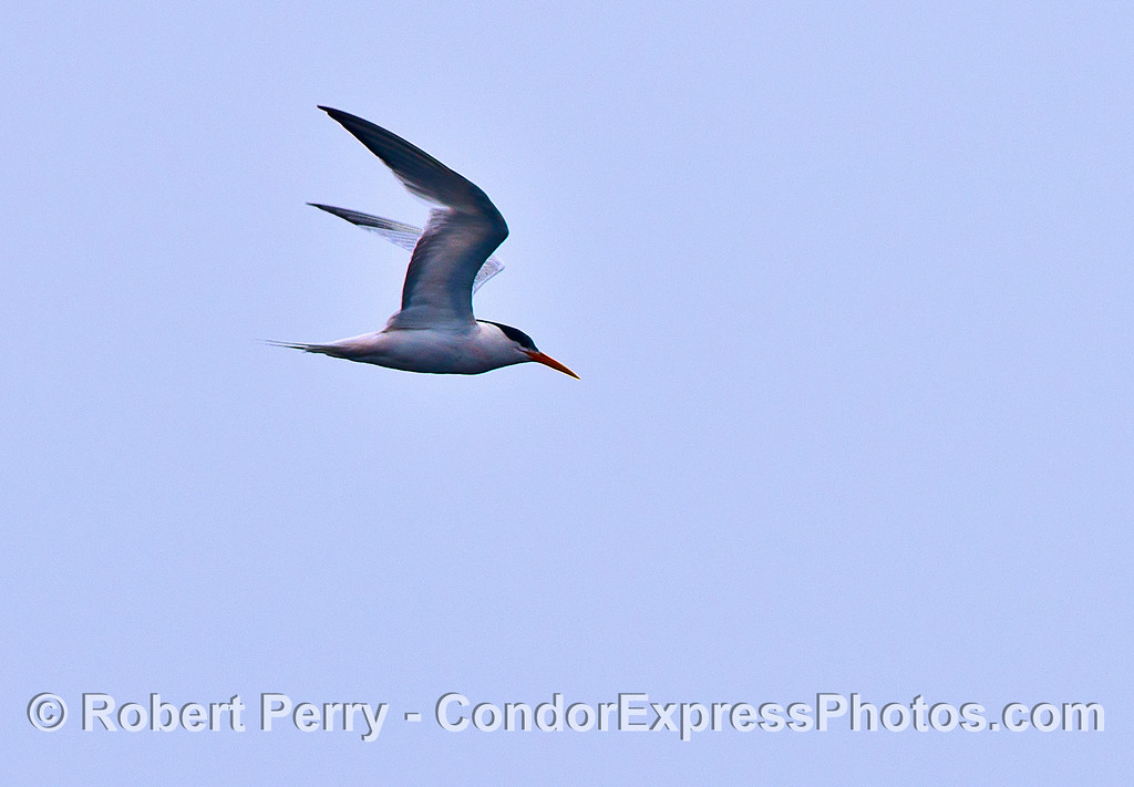 Elegant tern in flight