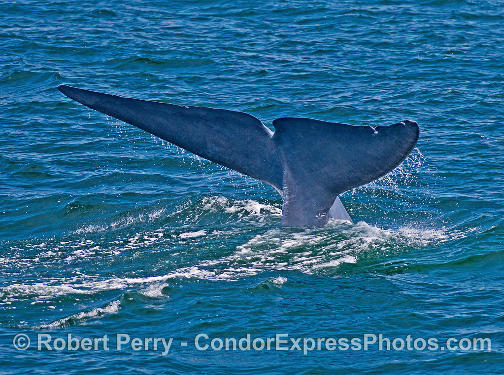 Image 3 of 3 in a row:  Giant blue whale tail fluke sequence.