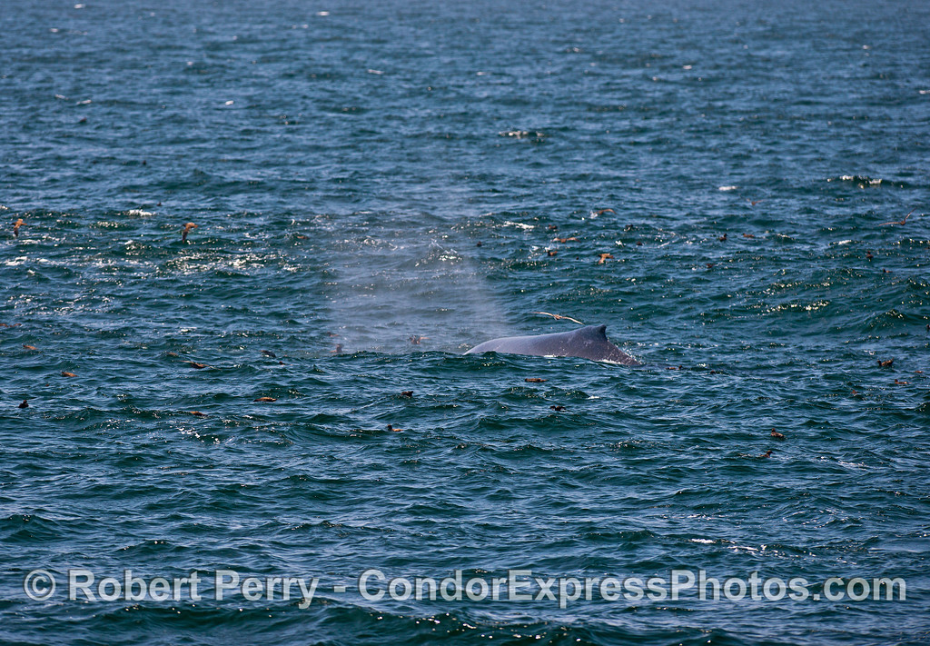 Humpback whale on the prowl in an oceanic hot spot.  Sooty shearwaters abound.