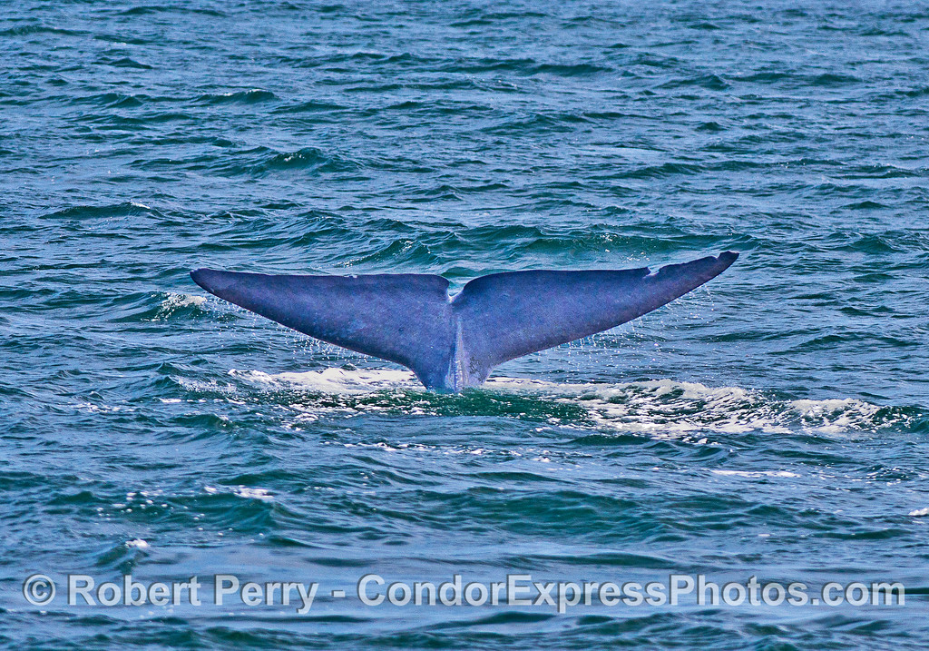 "Blue whale tail flukes - with ""notches"""