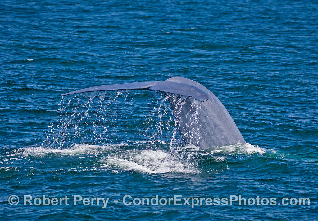 Image 2 of 3 in a row:  Giant blue whale tail fluke sequence.