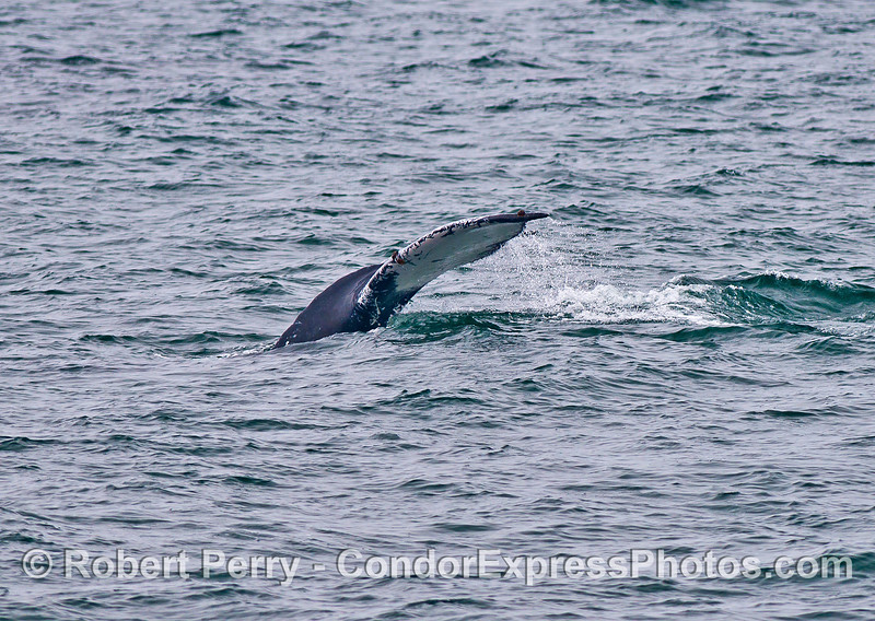 Humpback tail flukes - side view