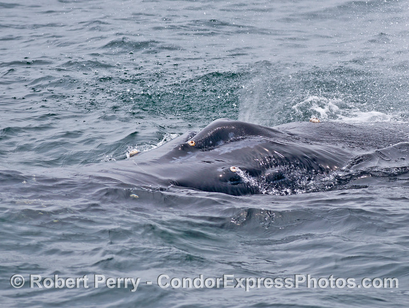 Extreme close up look at the splashguard and spout of a friendly humpback whale