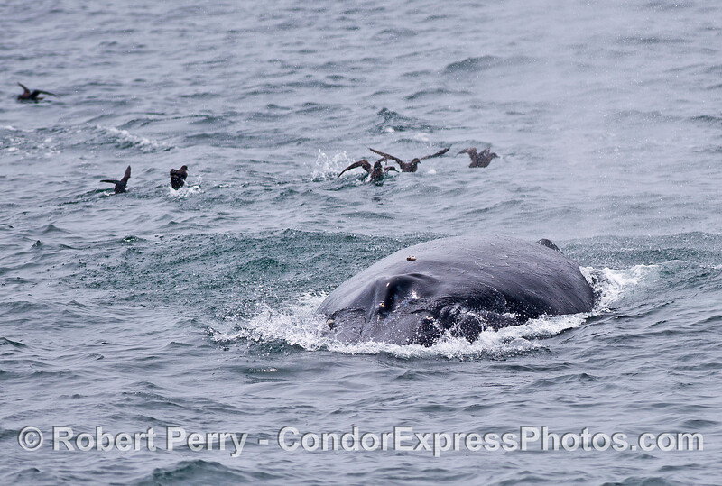 Friendly humpback whale comes to the camera - shearwaters scatter in the background