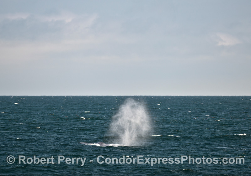 Giant blue whale spout in the wind.