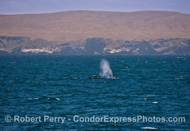 Giant blue whale near Santa Cruz Island