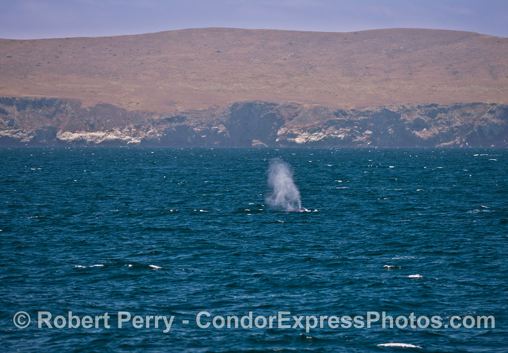 Giant blue whale near Santa Cruz Island