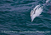 Common dolphin male rolling over, swimming sideways, preparing to court a female