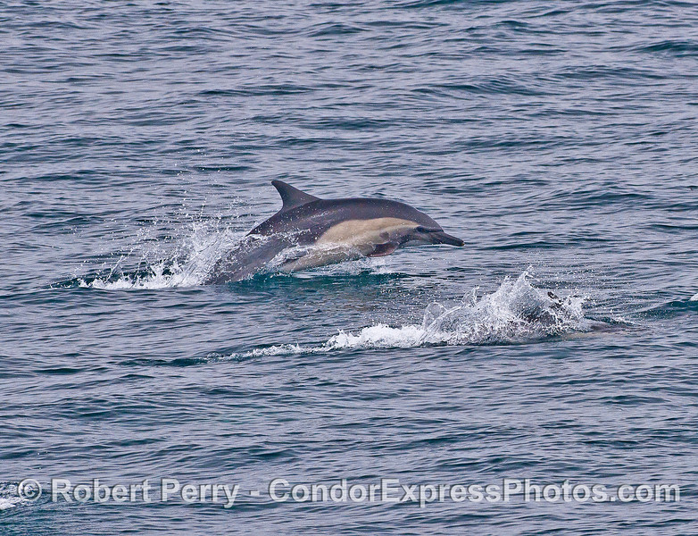Leaping high speed long-beaked common dolphin