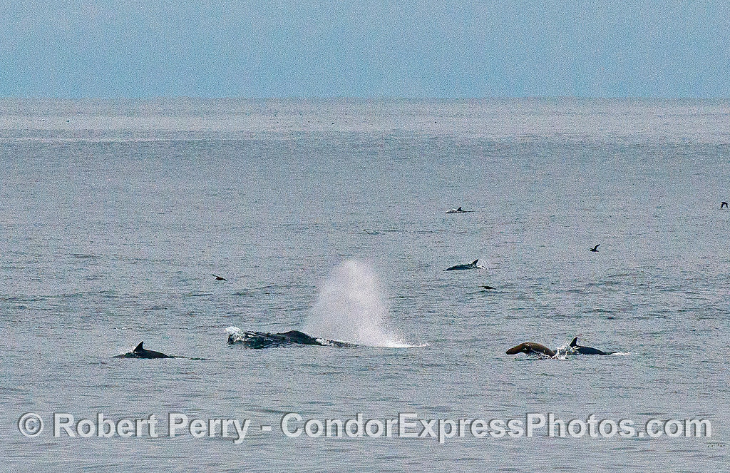 Hot spot wide-angle: humpback whale, common dolphins and a California sea lion