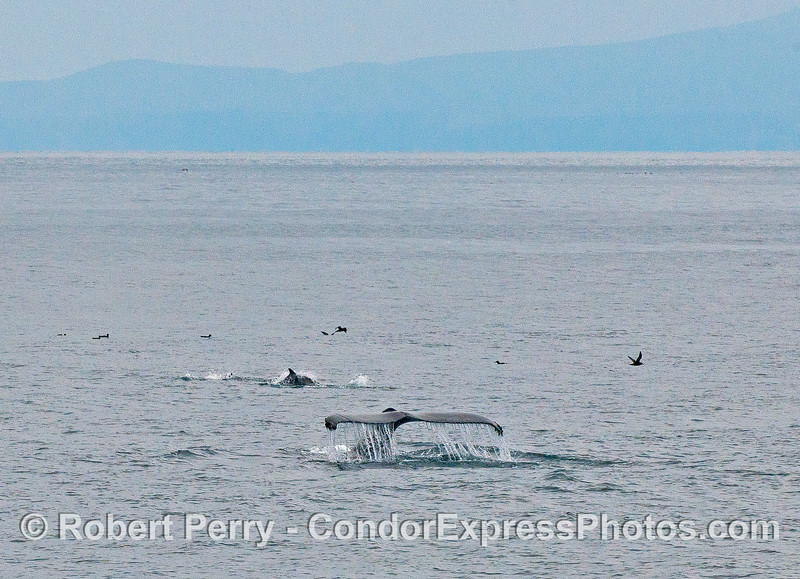 Humpback whale tail, common dolphin and shearwaters