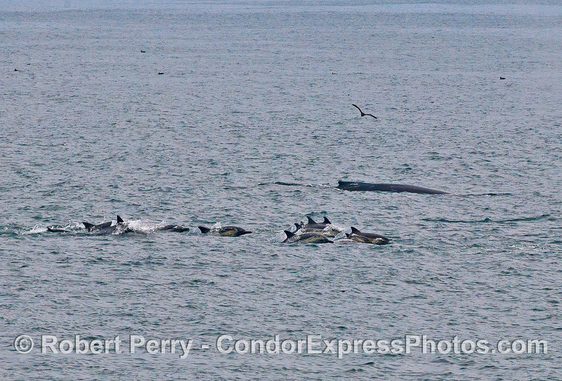 Humpback whale and a pod of long-beaked common dolphins