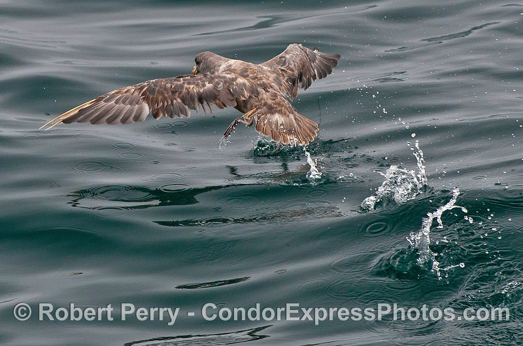 "Northern fulmar ""runs"" across the glassy surface to take flight"