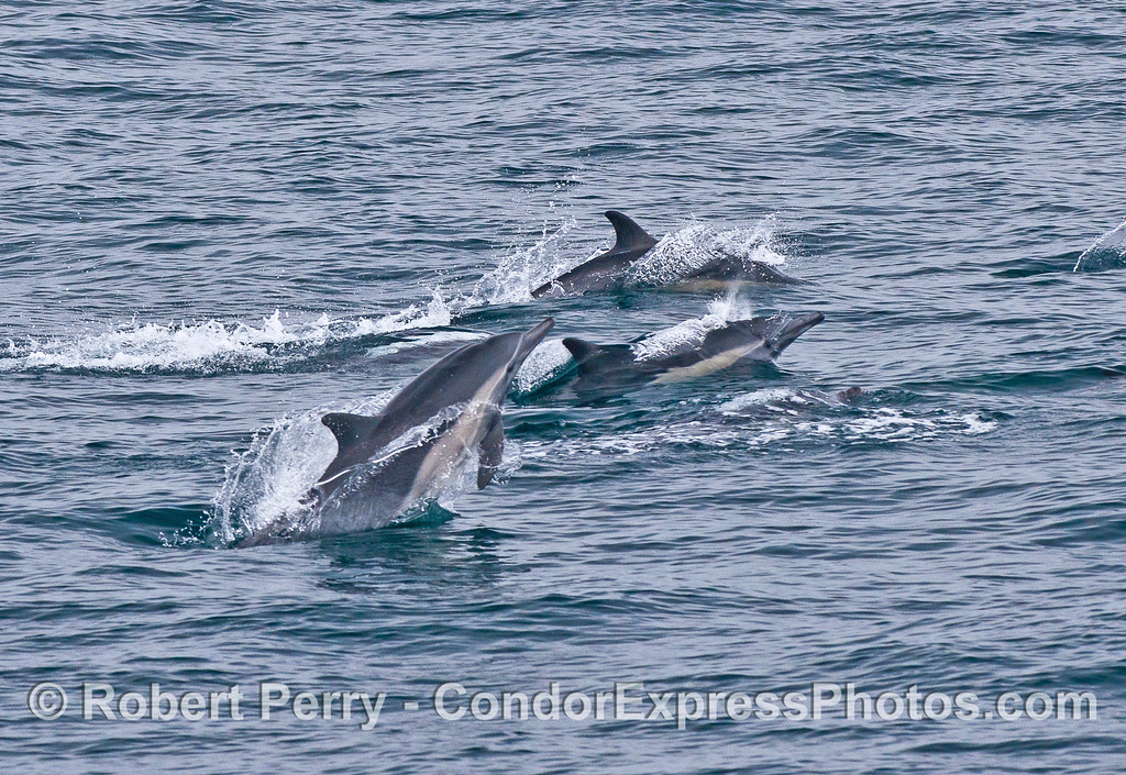 Closer look at leaping long-beaked common dolphins