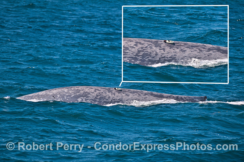 Whole animal view and enlargement of research tag on a blue whales back.