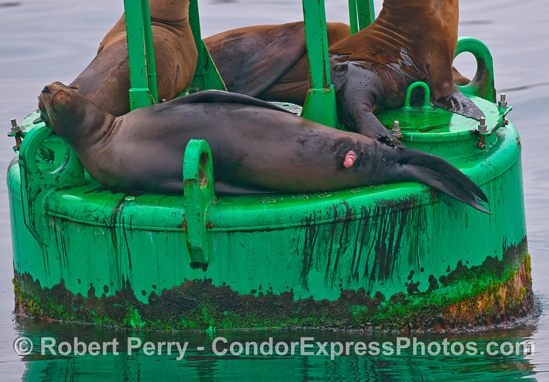 A young male California sea lion relaxes on the harbor entrance buoy
