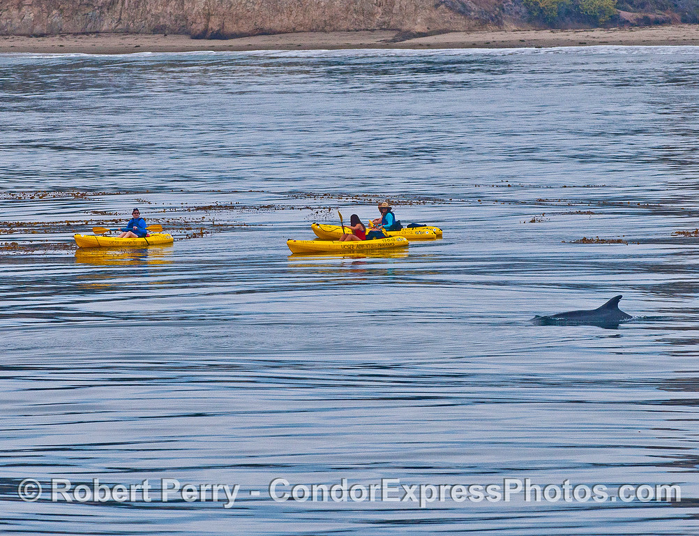 Inshore bottlenose dolphins pass by curious kayakers