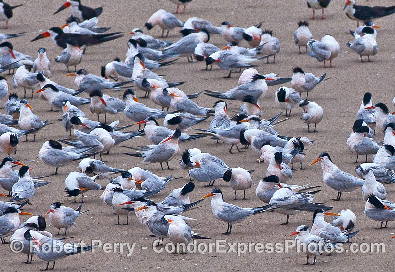 Elegant terns and some black skimmers on the Sandspit