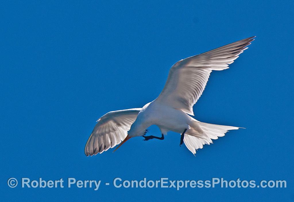 Elegant tern:  if it itches, you gotta scratch it.
