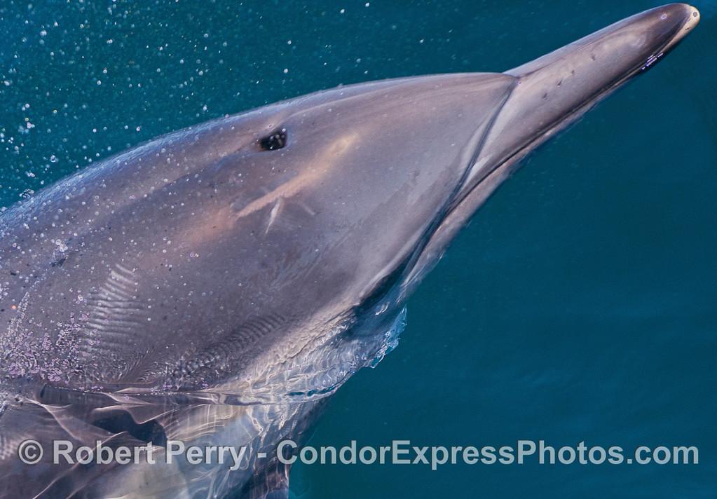 Loooonnnnggg beaked common dolphin.