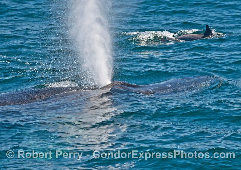 Spouting humpback whale and a long-beaked common dolphin.