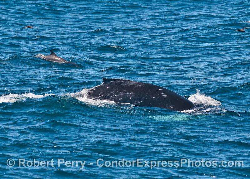 Diving buddies - humpback whale and a common dolphin