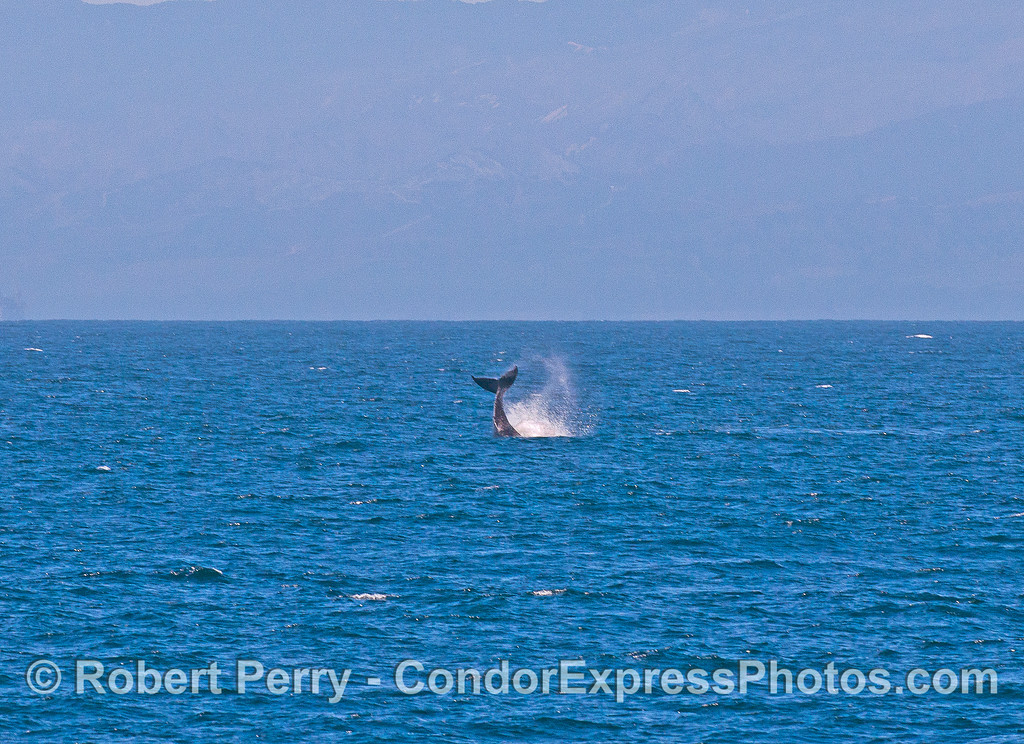 "A small humpback whale known as ""Speckles"" throws its tail in the distance."