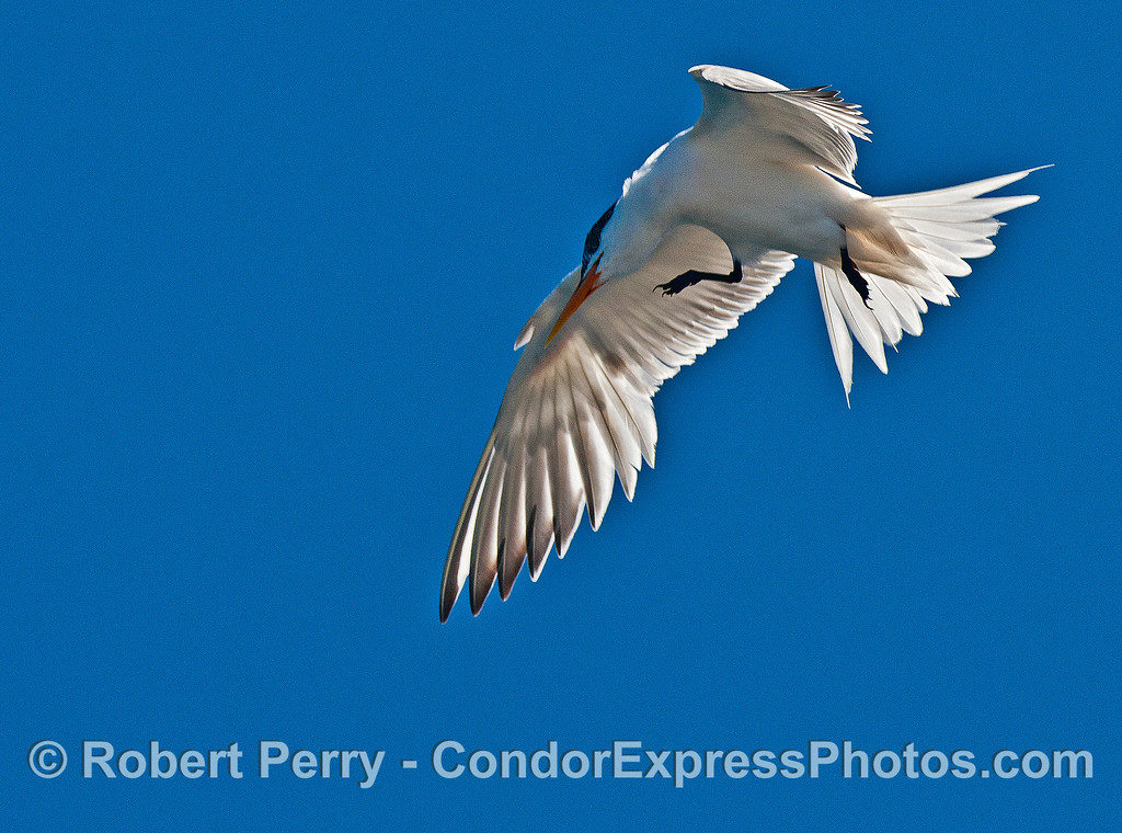 Elegant tern:  in-flight close up.