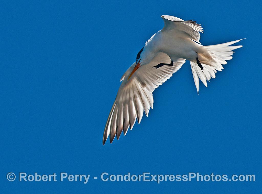Elegant tern:  in-flight close up.