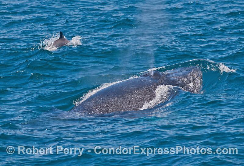 Humpback whale and its escort.