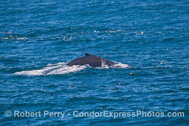 Humpback whale on the feeding grounds.