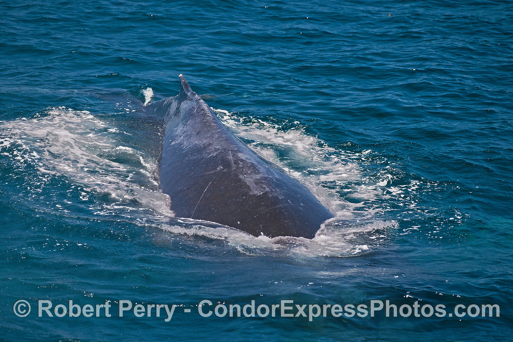 Humpback dives under the boat !